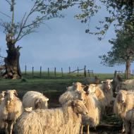 Moutons basques